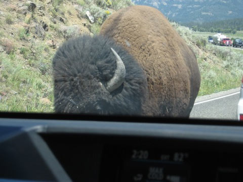 "The classic view at Yellowstone National Park:  ""This is my road, bucko, y'all are just visiting."""