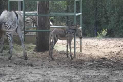 baby zebra - Cropped