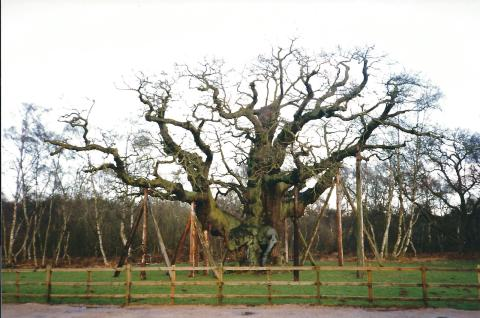 Major Oak Dec 93